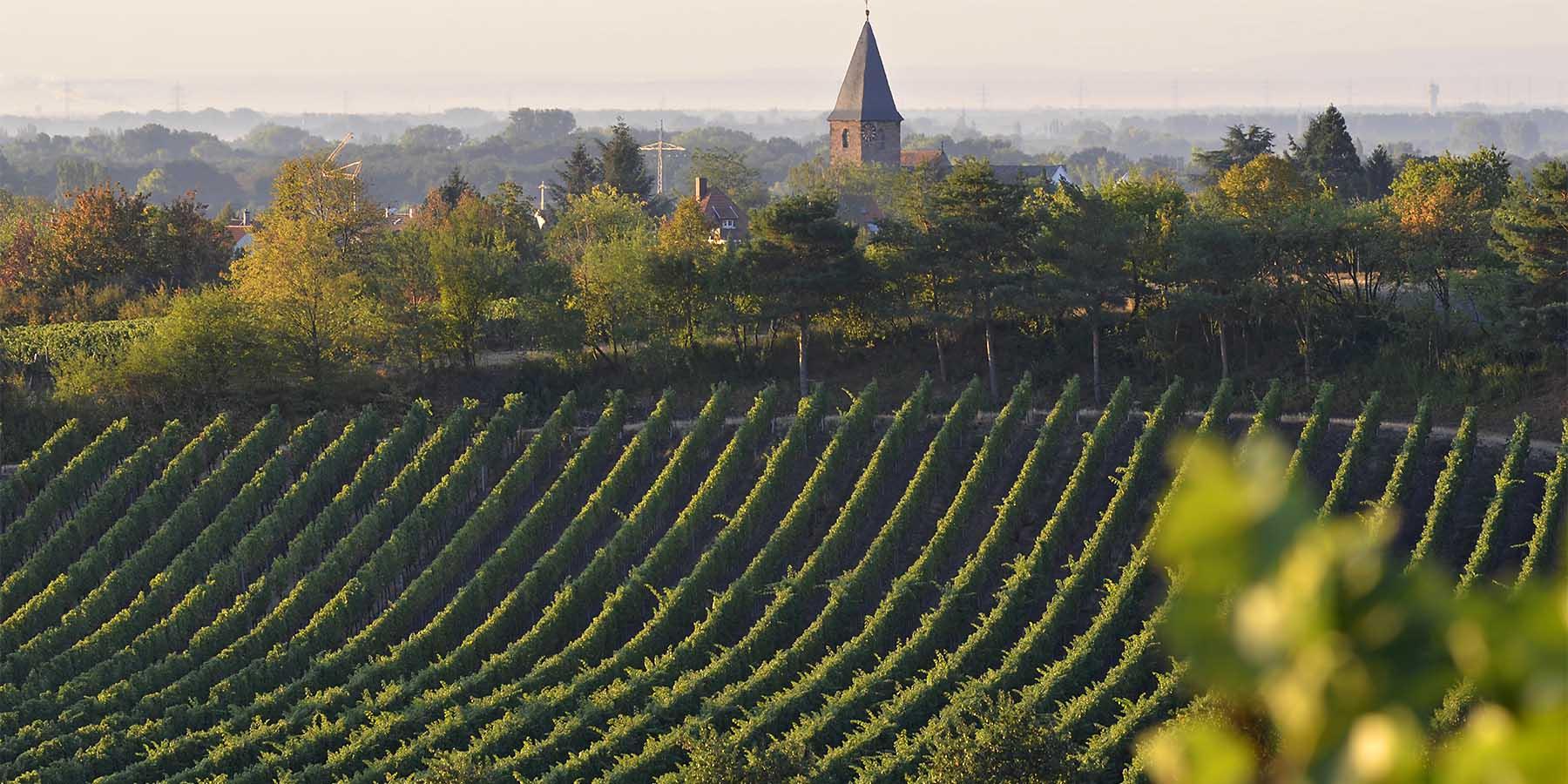 Blick aufs Weindorf Mußbach mit dem Kirchturm von Gimmeldingen aus